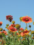 Orange and Yellow Flowers Against a Blue Sky Royalty Free Stock Photos