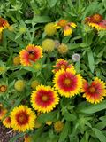 Orange and yellow flowers with a bumblebee royalty free stock photo