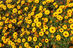 Orange yellow flowers, flower bed Stock Photos