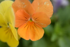 Orange and yellow flowers. Outside Stock Image