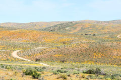Orange and yellow flowers surround the Roof of Namaqualand trail Royalty Free Stock Photo