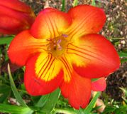 orange-and-yellow freesia Stock Photography