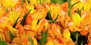 Orange-yellow freesias. Festive bouquet of bright orange-yellow freesias Stock Photos