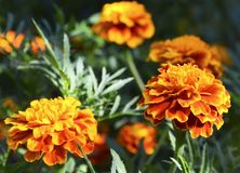 Orange yellow French marigold or Tagetes patula flowers in summer garden.Marigolds floral background with copy space. Selective focus stock photography
