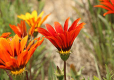 Orange and yellow gazania flowers on a blurred background Stock Photos