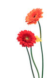 Orange and yellow gerbera. Flowers stock photography