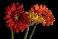 Orange and yellow gerbera. Flowers royalty free stock images