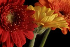 Orange and yellow gerbera. Flowers stock photo