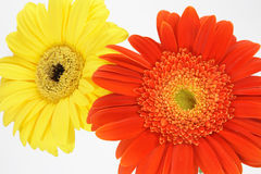Orange and yellow gerbera  dai. Sies  on white background Stock Image