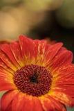 Orange and yellow gerbera daisies Stock Photography