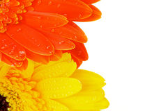 Orange and Yellow Gerbera Flowers Stock Images