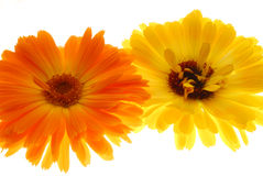 Orange and yellow gerberas Royalty Free Stock Photo