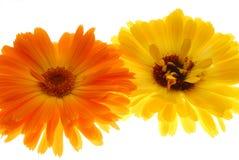 Orange and yellow gerberas Royalty Free Stock Photo