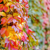 Orange yellow green colorful leaves Royalty Free Stock Image