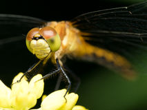 Orange,Yellow, and Green Dragonfly on Yellow Flower Stock Image