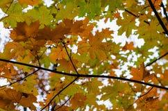 Maple tree leaves on the sky background. Orange yellow green maple tree leaves on the sky background Stock Images