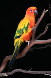 Orange Yellow and Green Sun. Conure Parrot on a Tree Branch royalty free stock photos