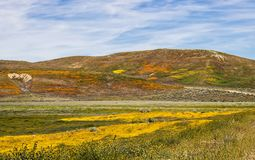 Orange Yellow and Green Vibrant Flower Covered Landscape under Blue Sky. Vibrant landscape covered in yellor orange and green wildflowers under blue sky with royalty free stock images