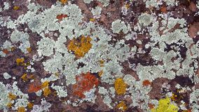Orange, Yellow, and Grey Lichen Patterns on a Red Sandstone Rock in Southern Utah. Orange, Yellow, and Grey Lichen on a Red Sandstone Rock in Southern Utah royalty free stock photos
