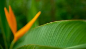 Orange and yellow heliconia, Strelitzia, Bird Paradise macro close-up, green background. Exotic tropical blooming flower. Orange and yellow heliconia, Strelitzia stock footage