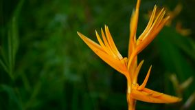 Orange and yellow heliconia, Strelitzia, Bird Paradise macro close-up, green background. Exotic tropical blooming flower. Orange and yellow heliconia, Strelitzia stock video footage