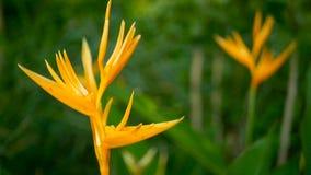Orange and yellow heliconia, Strelitzia, Bird Paradise macro close-up, green background. Exotic tropical blooming flower. Orange and yellow heliconia, Strelitzia stock video