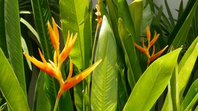 Orange and yellow heliconia, Strelitzia, Bird of Paradise macro close-up, green leaves in background. Paradise tropical