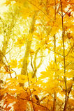 Orange and yellow leafes. Of trees in fall for background Royalty Free Stock Photo