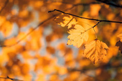 Orange and yellow leaves Royalty Free Stock Photo