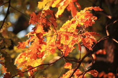 Orange yellow leaves on a branch concept Royalty Free Stock Photography