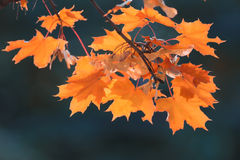 Orange yellow leaves on a branch concept Stock Photo