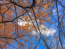 Orange and yellow leaves on branches Stock Image