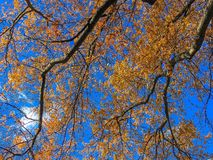 Orange and yellow leaves on branches Royalty Free Stock Image