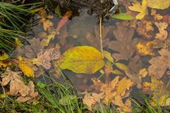 Orange and yellow leaves in a puddle in the water and along the Stock Image