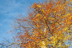 Orange and yellow leaves on a tree. Orange and yellow leaves in a tree on a sunny autumn day Royalty Free Stock Photography