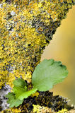 Orange and yellow lichen on Ibiscus tree Stock Image