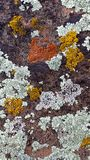 Orange, Yellow, and Light Green Lichen on a Red Sandstone Rock in Southern Utah. Showing Complex Patterns stock photo