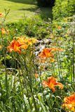 Orange and Yellow Lilies Stock Images