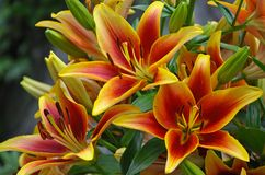 Orange and yellow lilies Royalty Free Stock Images