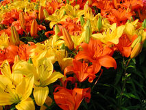 Orange and yellow lily. Field of lily in orange and yellow Stock Images