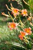 Orange-yellow lily flower,Close-up Royalty Free Stock Image