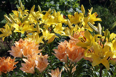 Orange and yellow Lily growing in the garden Stock Photography