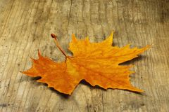 An orange yellow maple leaf lying on an old hardwood board. An orange yellow maple leaf lying on an old hardwood birch board Stock Image