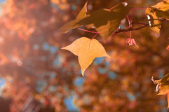 the orange or yellow maple leaves on blue sky background among s Stock Photography