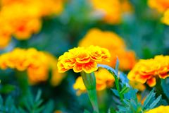 A Orange and yellow Marigold flower. In the garden royalty free stock photography