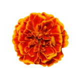 Orange yellow marigold flower isolated on white background (Calendula officinalis) Royalty Free Stock Photography