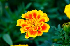 A Orange and yellow Marigold flower. In the garden stock image
