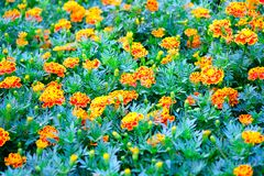 A Orange and yellow Marigold flower. In the garden royalty free stock photos