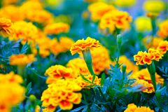 A Orange and yellow Marigold flower. In the garden stock images