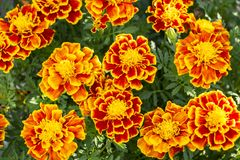 Orange and Yellow Marigold Flowers stock photography
